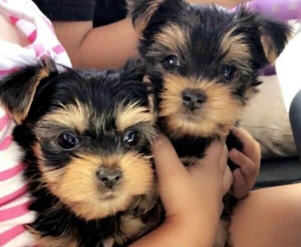 Yorkshire-Terrier-Puppies-For2-1