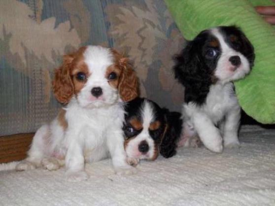 chiot-cavalier-king-charles-04-1