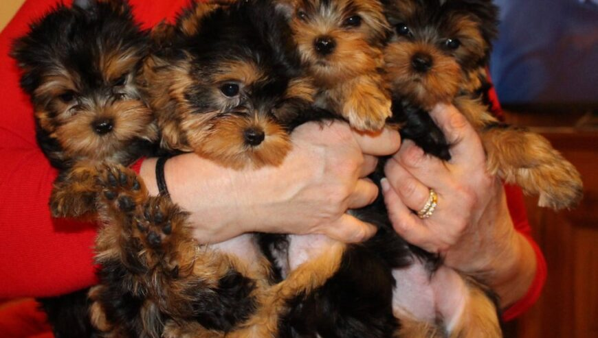 chiots-yorkshire